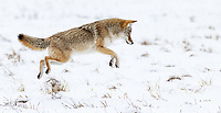 A coyote mouses in Yellowstone's northern range.