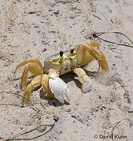0604-0915  Ghost Crab (Sand Crab) on Beach at Outer Banks in North Carolina, Ocypode quadrata  © David Kuhn/Dwight Kuhn Photography