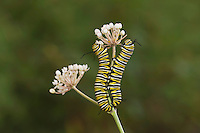 Monarch (Danaus plexippus), caterpillars eating from aquatic milkweed, Hill Country, Texas, USA