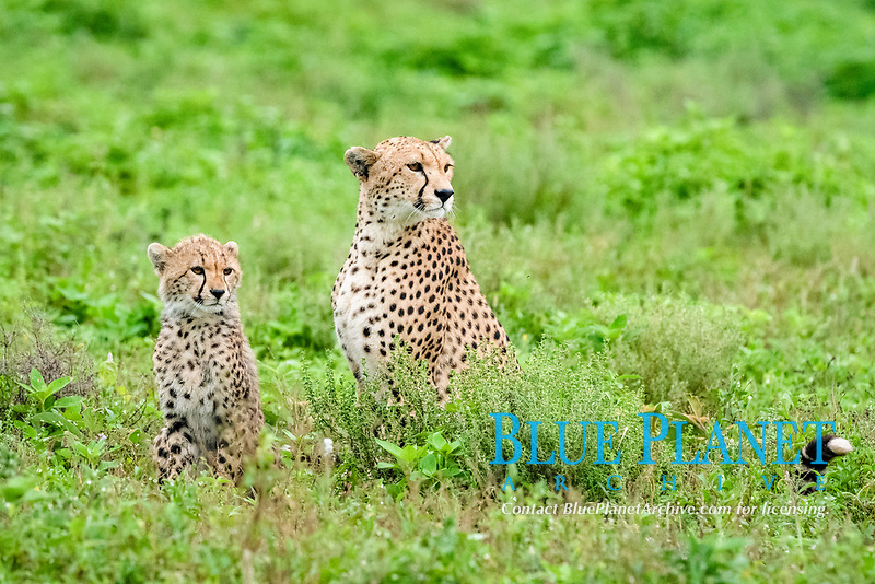 cheetah (Acinonyx jubatus), mother and cub, Ndutu, Ngorongoro Conservation Area, Serengeti, Tanzania, Africa