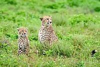 cheetah (Acinonyx jubatus), mother and cub, Ndutu, Ngorongoro Conservation Area, Serengeti, Tanzania, Africa