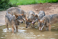 """BNPS.co.uk (01202) 558833<br /> Pic: ZacharyCulpin/BNPS<br /> <br /> Animals at Longleat in Wiltshire stay cool in the heat<br /> <br /> Shake 'n Pack - a pack of European wolves enjoy a cooling dip at Longleat as temperatures<br /> start to rise ahead of a predicted heatwave over the weekend.<br /> The wolves, which were once native across the UK, were introduced to their Wiltshire<br /> woodland home in 2019.<br /> Since arriving at Longleat the pack has grown significantly with the arrival of two sets of<br /> cubs.<br /> """"The wolves actually love the water, especially during the summer, and will spend quite a lot<br /> of time splashing about in their pond and using it as somewhere to cool down,"""" said keeper<br /> Ian Turner."""