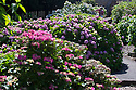 """20/06/16<br /> Alison Grimwood pruning. <br /> <br /> Tucked away in a hidden walled garden of an inner-city public park, the UK's largest hydrangea collection is putting on its best display ever, following the sudden heatwave after several months of rain.<br /> <br /> Full story:  <br /> <br /> https://fstoppressblog.wordpress.com/britains_biggest_hydrangea_garden/<br /> <br /> .And what used to be a flower traditionally associated with """"granny's cottage garden"""" is blooming back into fashion thanks to the rising trend for all things shabby chic and retro-styled.<br /> <br /> There are more than 600 individual hydrangea bushes with a dozen or so different varieties, planted in Derby's Darley Abbey park, formerly part of an estate belonging to the nearby cotton mills.<br /> <br /> All Rights Reserved, F Stop Press Ltd. +44 (0)1773 550665"""