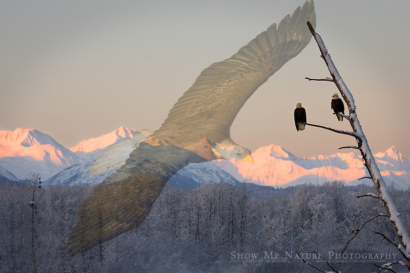 Composite of two Bald Eagle images, from Chilkat River Valley in Alaska