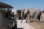 African elephant crossing dirt road between safari vehicles in Etosha National Park, Namibia. (This species is found in many African countries including South Africa, Botswana, Zambia, Zimbabwe, Namibia, Tanzania, Kenya, Rwanda, Uganda, Angola, Democratic Republic of Congo)