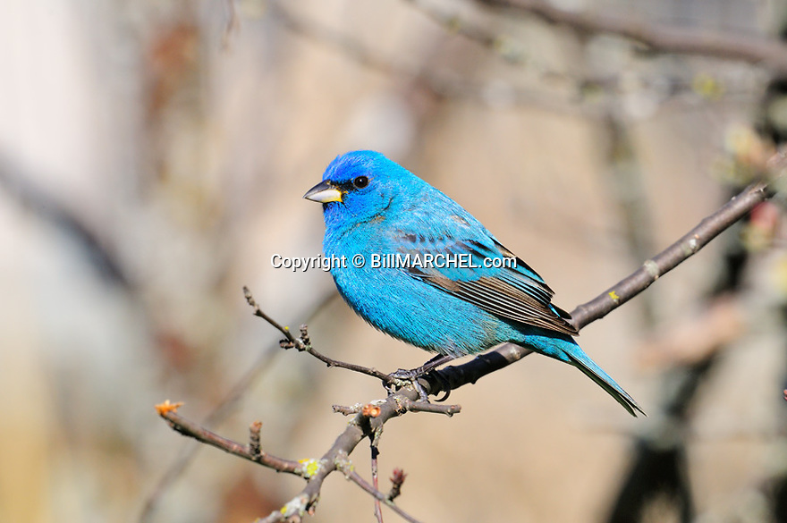 00120-00505  Indigo Bunting male is perched in shrub.  Blue, color, breed.