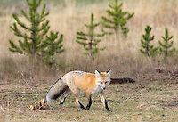 During my autumn visit to Yellowstone, red foxes were already sporting beautiful coats and poofy tails.