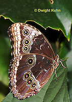 LE45-531z  Blue Morpho Butterfly, Morpho helenor, South and Central America