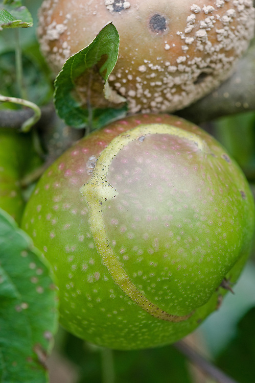 A double whammy: brown rot and the ribbon-like, raised scar on the skin of two 'Granny Smith' apples, early September. The scar indicates where a young apple sawfly maggot has hatched and fed just below the surface.