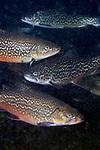 Tiger trout underwater
