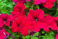 Petunia (Presto Series) Cherry ('Kerprecherry')David Kerley, red annual floers