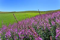 France, Puy-de-Dôme (63), Murat-le-Quaire, vers la Banne d'Ordanche ( 1 512 m), prairie fleuries par les épilobe en épi (Chamerion angustifolium) // France, Puy de Dome, Murat le Quaire, near the Banne d'Ordanche ( 1 512 m), flowery meadow by fireweed or Rosebay Willowherb (Chamerion angustifolium)