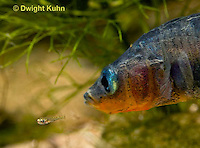 1S74-501z  Threespine Stickleback, Parental Male protecting young, Gasterosteus aculeatus,  Hotel Lake British Columbia