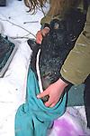 Kris Timmerman Measuring Black Bear #23