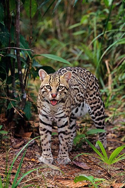 Ocelot (Leopardus pardalis). Central America