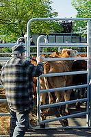 traditioneller Ochsenmarkt in Wedel, Schleswig-Holstein, Deutschland<br /> traditional ox-market in Wedel, Schleswig-Holstein, Germany
