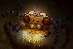 Mosaic Boxer Crab, Lybia tesselata,Boxer Crab, Lybia tessalata. a crab that wears Anemones as boxing gloves. Snooted