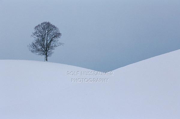 Linden tree (Tilia sp.),bare tree in winter, Switzerland