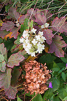 Hydrangea quercifolia Snowflake in autumn color, faded and new flowers
