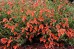 CALIFORNIA FUCHSIA, ZAUSCHNERIA CALIFORNICA