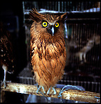 August 2000. Jakarta, Indonesia. A wild owl from indonesia's islands are for sale on Jalan Balito in Jakarta. The owl is endangered and since Suhartos downfall the endangered animal business has proliferated because of government corruption and inability to police the industry.