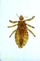 SG05-009x  Human Louse - Pediculus humanus.
