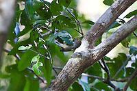 Brown Thornbill, Great Sandy NP, Queensland, Australia