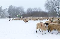 Sheep being fed by farmer in the snow -  Rutland, February