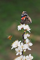 Red Admiral (Vanessa atalanta), adult feeding on Mexican Plum (Prunus mexicana) flower with Honey Bee (Apis mellifera), New Braunfels, Central Texas, USA