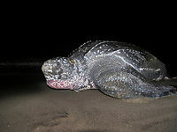 leatherback sea turtle, Dermochelys coriacea, nesting on beach, Dominica, West Indies, Caribbean, Atlantic