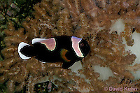 0119-08zz  Saddleback clownfish - Amphiprion polymnus © David Kuhn/Dwight Kuhn Photography