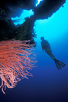 diver and red whip coral, Junceella sp., Papua New Guinea, Pacific Ocean