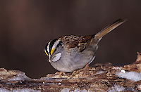 White-throated Sparrow, Zonotrichia albicollis,adult on log with ice, Burlington, North Carolina, USA