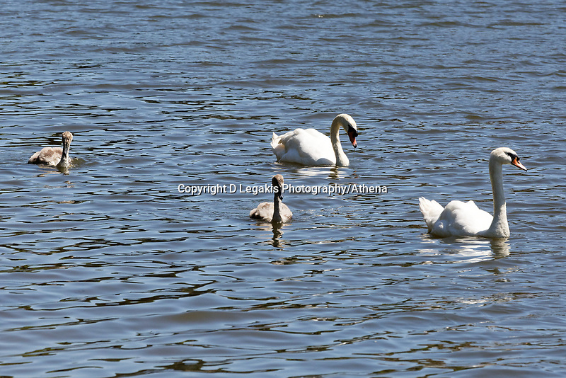 """Pictured: The killer swan, named by locals """"Mr Nasty"""" (3rd LEFT) with his family in the pond by Pembroke Castle, west Wales, UK. Sunday 08 July 2018<br /> Re: A vicious killer swan is prowling around Pembroke, determined to see off any threat to his territory by ruthlessly drowning his victims.<br /> So far, he has killed 10 other swans, though many more have been saved from his attacks.<br /> Dubbed by locals """"Mr Nasty""""  lives on the Castle Pond by Pembroke Castle. <br /> Bird sanctuary worker Maria Evans says she has watched him at work, drowning other swans, breaking their feet or pushing them over a sluice.<br /> In 2010, another killer swan dubbed """"Hannibal"""" had his wings clipped after attacking other swans in the same pond."""