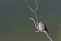 White-crowned Sparrow, Denali National Park, Alaska