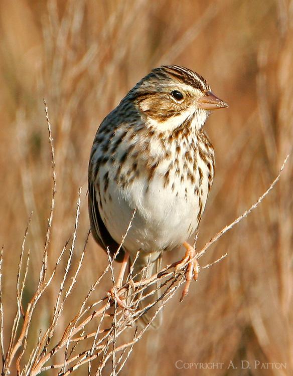 Adult vesper sparrow on weed stems