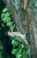 European Green Woodpecker, Picus viridis, female with ants prey at nesting cavity in cherry tree, Walchwil, Switzerland, June 1995