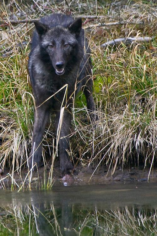 Grey Wolf standing along a semi-frozen pond - CA