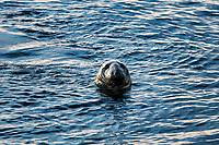 Harbor seal, Chatham, Cape Cod, Massachusetts, USA.