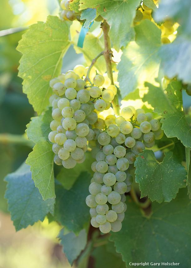 Chardonnay wine grapes, Columbia Basin WA
