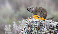 A Uinta ground squirrel sounds the alarm.