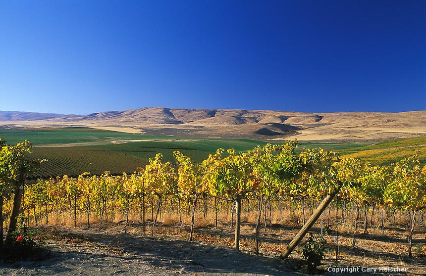 Winegrape Vineyard. Columbia Basin. WA