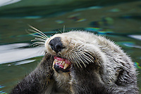 Sea Otter (Enhydra lutris) grooming mouth and cheeks