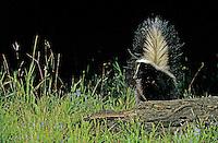 Striped Skunk, Mephitis mephitis, adult looking for food, Welder Wildlife Refuge, Sinton, Texas, USA