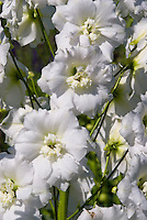 Delphinium 'Centurion White' pure white perennial blooms, seed-raised, start early from seeds