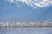 Western sandpipers flock to the shores of Hartney Bay, Copper River Delta, Prince William Sound, Alaska, to refuel during their migration to summer nesting grounds. Chugach mountains in the background.