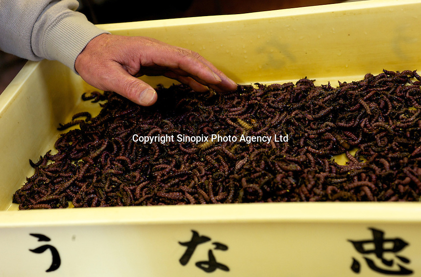 Stone-fly larvae, known as  zaza-mushi, in an insect factory near Ina City, Nagano Prefecture, Japan. Mr Tsukahara cooks and sells the larvae which is a nutritious food.
