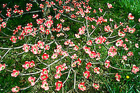 Branch of pink dogwood tree, Conus florida, growing in yard with round happy blossoms