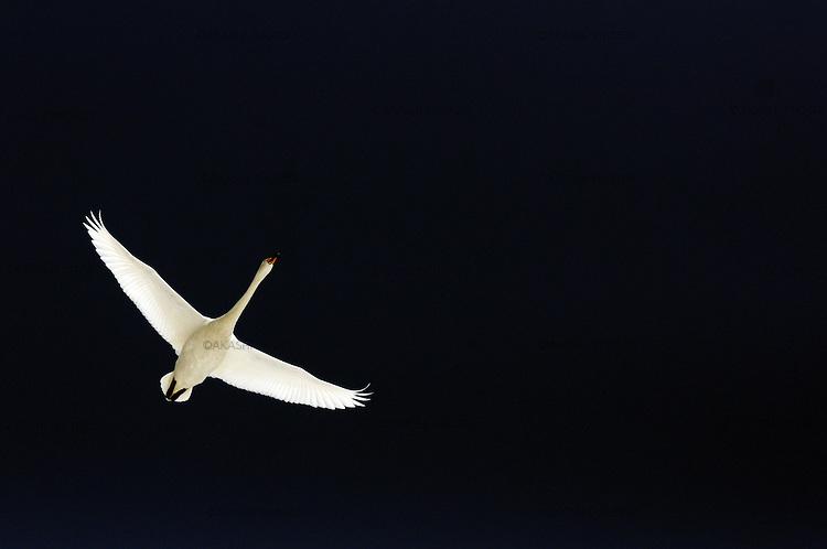 Japanese swan flying in Akan Crane Center. Akan. Hokkaido. Japan.