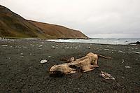 Southern Elephant Seal Carcass on Hasselborough Bay, Macquarie Island, Antarctica